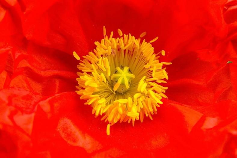 xp3-dot-us__DSC2873 red poppy