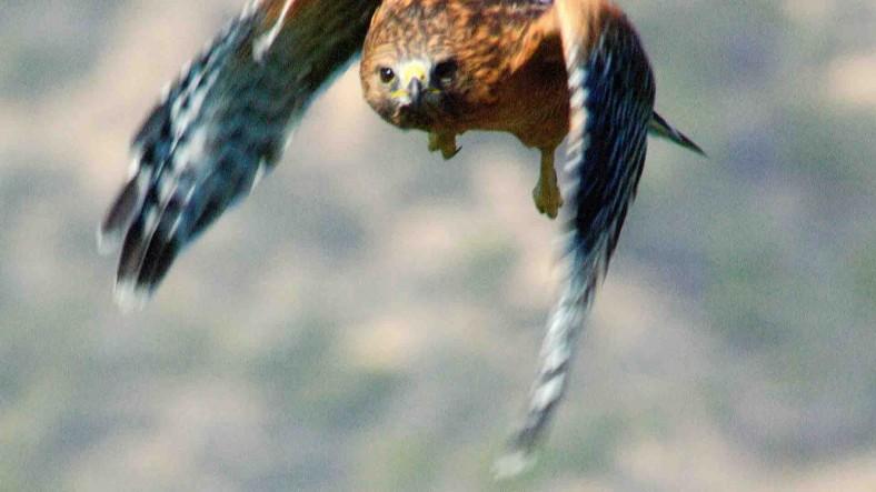 xp3-dot-us__DSC2951 Hawk - where there is fear